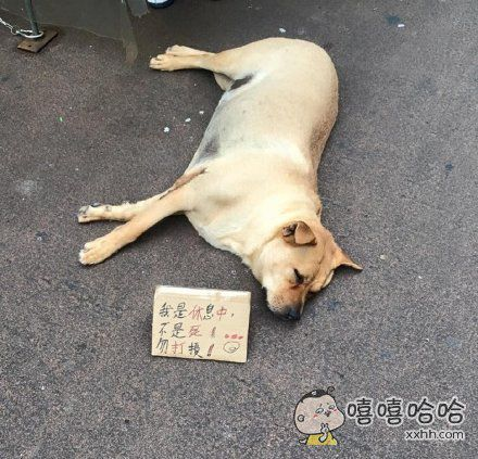香港一家零食铺养的汪,因为睡得太沉不管多少人经过都不会醒,引来很多好心